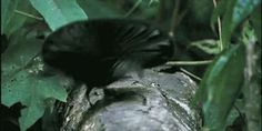 Bird Mating Almost as Weird as Real Mating -