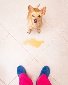 #Inkontinenz bei #Hunden - da sich das Urintöpfeln bei meiner Hündin in letzter Zeit verschlimmert hat, habe ich meinen Artikel zur Inkontinenz und Blasenschwäche beim Hund nochmal um ein paar Erkenntnisse erweitert. Habt ihr noch hilfreiche Tipps? >