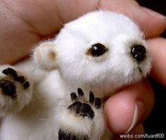 Baby polar bear! I've never seen a picture of one!
