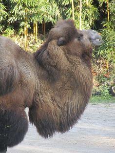 cammello Camelus bactrianus Parco Natura Viva_-_Verona