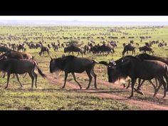 """Sanctuary Kusini offers a #Serengeti safari like no other. This is the only permanent camp in this unspoilt and remote part of the Serengeti and every year wildebeest congregate on the camp's """"doorstep"""" during the annual #migration. #Tanzania"""
