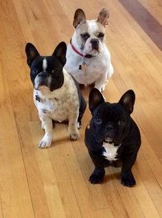 Jules | Horace | Maxence. My fabulous Frenchies, French Bulldogs