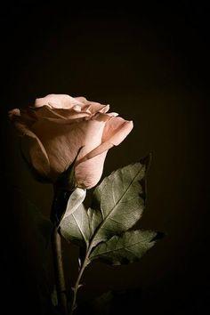 Blush rose.