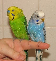 Charlie and Moon, budgies animal gallery [link] shower birds I Like Birds, Cute Birds, Little Birds, Budgie Parakeet, Budgies, Australian Parrots, All Gods Creatures, Bird Pictures, Colorful Birds