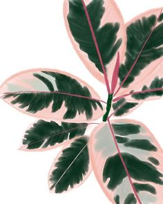 Ruby Rubber Plant – Mayumi-Ko – Best Home Plants Plant Painting, Plant Art, Plant Decor, Hanging Plants, Indoor Plants, Indoor Gardening, Decoration Plante, Fall Plants, Garden Plants