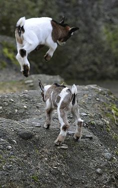 flying goats - I want one. Or two.