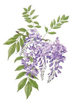 wisteria violeta común gif