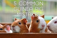 Although guinea pigs may seem very simple to care for, there are many common mistakes. Here are five frequent misconceptions and how to avoid them to become a better caretaker for your cavy. Diy Guinea Pig Cage, Guinea Pig Food, Baby Guinea Pigs, Guinea Pig Care, Pet Pigs, Caring For Guinea Pigs, Guniea Pig, Class Pet, Guinea Pig Bedding