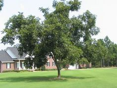 Pecan Tree For Greeny Landscaping