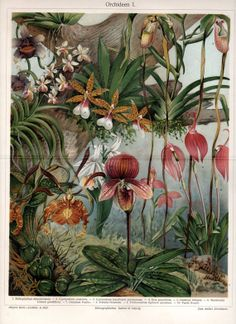 1890 Antique Print ORCHIDS Lithograph German by AntiquarianPrints, $25.00