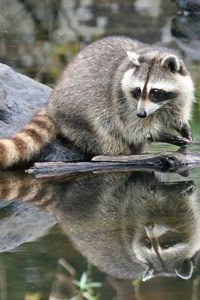 Masked racoon reflection.