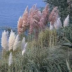 Pase Seeds - Ornamental Grass Seed - Cortaderia Pampas Grass Selloana Mix  Seeds, $3.49 (http://www.paseseeds.com/ornamental-grass-seed-cortaderia-pampas-grass-selloana-mix-seeds/)