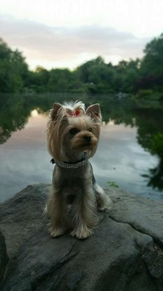 Summer in the city. Yorshire Terrier, Silky Terrier, Terrier Breeds, Small Dog Breeds, Small Dogs, Yorkie Puppy, Yorkie Hair, Animals Beautiful, Cute Animals
