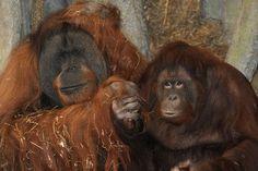 Schnitz and Pepper, the reclusive orangutans... at Virginia Zoo in Norfolk.