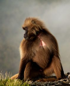 Gilada baboon, Ethiopia