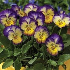 Violas (pansy) always look happy to see you. These are Penny Primrose Picotee…