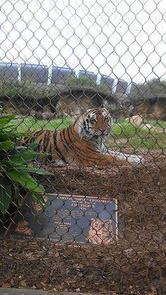 LSU Tiger
