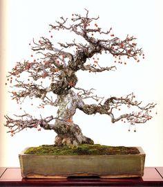 crabapple bonsai - Google Search