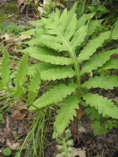 Sensitive Fern ,Onoclea sensibilis, also known as the bead fern