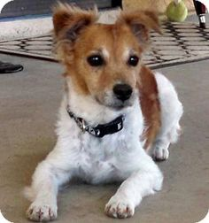 Moorpark, CA - Jack Russell Terrier Mix. Meet Curly (Manifee), a dog for adoption. http://www.adoptapet.com/pet/12678788-moorpark-california-jack-russell-terrier-mix
