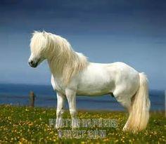 White Icelandic Horse , Iceland stock photo
