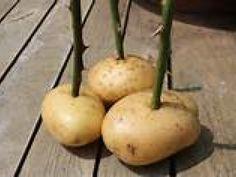 Come coltivare le rose grazie alle patate