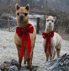 #Alpaca's in de sneeuw