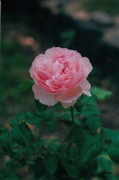 Central Park Rose