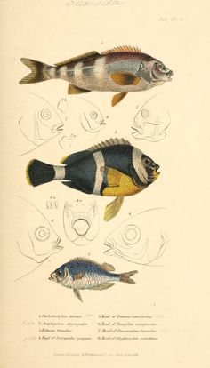 Fish illustration by Baron Georges Cuvier