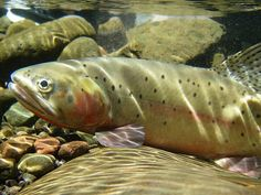 Explore Fly Fishing Gear, Accessories and apparel for trout enthusiasts Fishing Store, Fly Fishing Gear, Pike Fishing, Trout Fishing, Fishing Boats, Fishing Lures, Facts About Fish, Fishing Supplies, Rainbow Trout