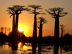 Avenue of the Baobabs in Madagascar - Google Search