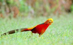 #1855754, Backgrounds High Resolution: golden pheasant wallpaper