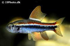 poecilocharax_weitzmani / http://www.aquariumphoto.dk/index.html