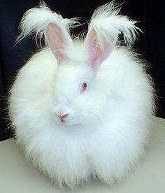 Angora Rabbit.