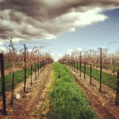 Travel to Paso Robles, CA - Vineyard Wander, Vineyard, California, America, Vacation, Places, Nature, Travel, Outdoor