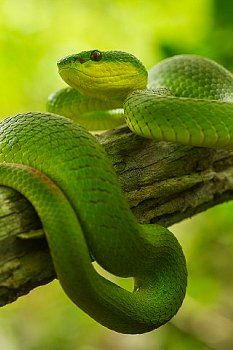 White-lipped Island Pit Viper on a branch - Komodo Indonesia,