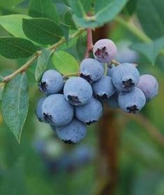 Grow blueberry plants and enjoy the luscious fruits of this native American shrub that have been cherished since colonial times. Plant at least two different varieties of blueberries for cross pollination to increase yield. Fruit Plants, Fall Plants, Burpee Seeds, Blueberry Plant, Acid Loving Plants, Berry Picking, Starting Seeds Indoors, Plant Labels, Garden Guide