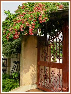 Garden gate with Chinese Honeysuckle growing on it ♥
