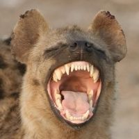 Lower Sabie Rest Camp In the Kruger National Park – Hyena In the Night