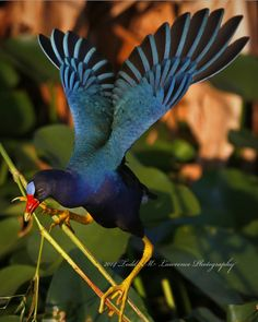 """Purple Gallinule (Porphyrio martinicus) is a """"swamp hen"""" in the rail family Rallidae."""