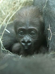 Baby Obi One of each! Knoxville Zoo reveals genders, names of baby gorillas