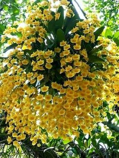 …In the midst of winter, I found there was, within me, an invincible summer. Exotic Plants, Exotic Flowers, Amazing Flowers, Yellow Flowers, Beautiful Flowers, Rare Orchids, Dendrobium Orchids, Orchids Garden, Garden Plants