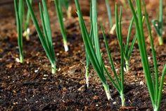 Зеленый лук – это не только источник витаминов и полезных веществ, но еще и украшение для самых различных блюд. Поэтому он пользуется популярностью у кулинаров во все времена года. Хозяйки пытаются вы...