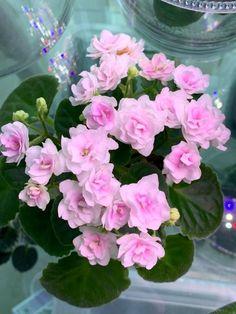 African Violet: Kentucky Gooseberries Grown by Lidia Lou. Kentucky Gooseberries (D.