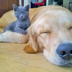 Dog Sleeping With Kitten Bye It