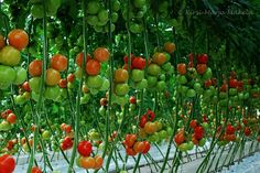 Murajan herkulliset tomaatit murajantila.blogspot.com Fruit