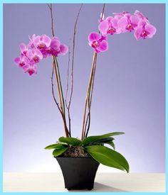 orkide bakımı nasıl yapılır, orkide çiçeği bakımı nasıl yapılır, orkide çiçeği bakımı, orkide bakımı, orkide çiçeği,