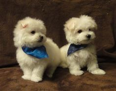 Rocky and Rudy  Maltese Puppies