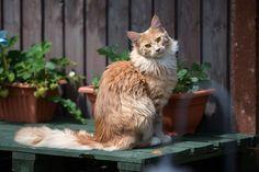 15 American Cat Breeds