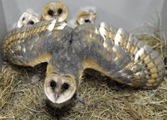 Protective mama A mother barn owl protects her babies at the Amneville Zoo in France on July 8.